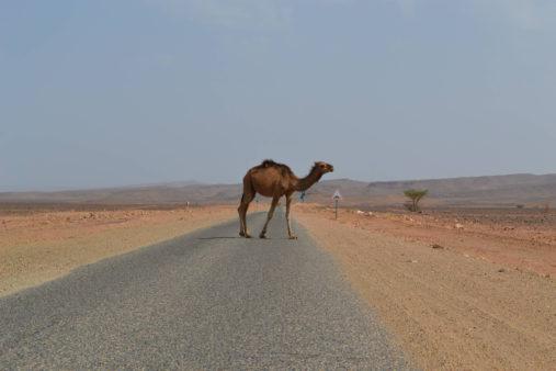 Kupranugaris dykumoje