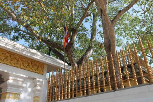 Budos medis
