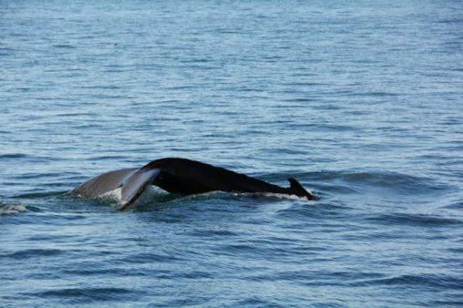 Banginiai Špicbergene