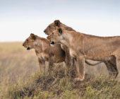 Afrikos liūtai