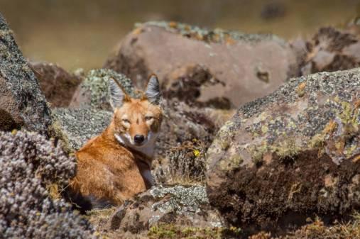 Simien vilkas, žygis Simien nacionaliniame parke