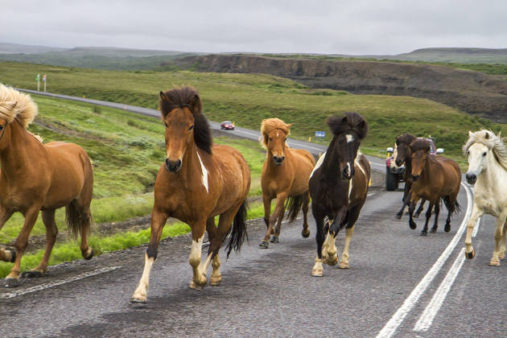 Islandijos arkliai